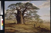 Baobab near the bank of the Lue