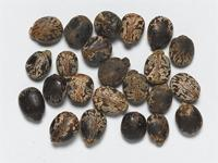 Seeds of the Ricinus communis L.